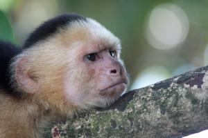 White-faced capuchin - Parque Nacional Manuel Antonio